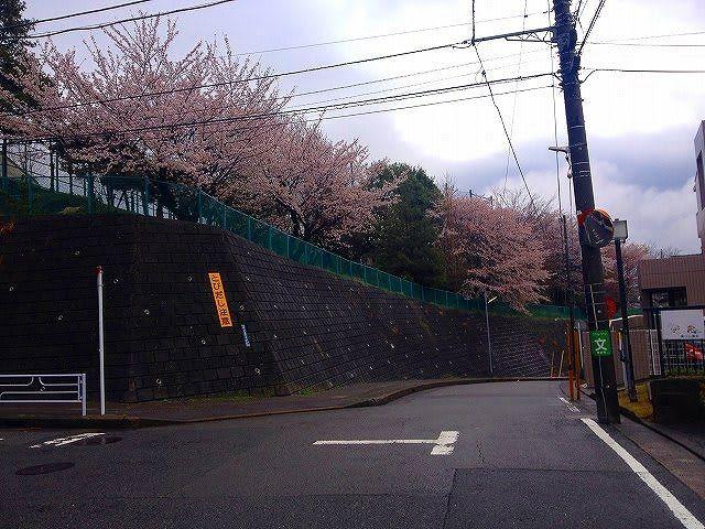 2014年4月4日の元石川小学校の桜の様子です。