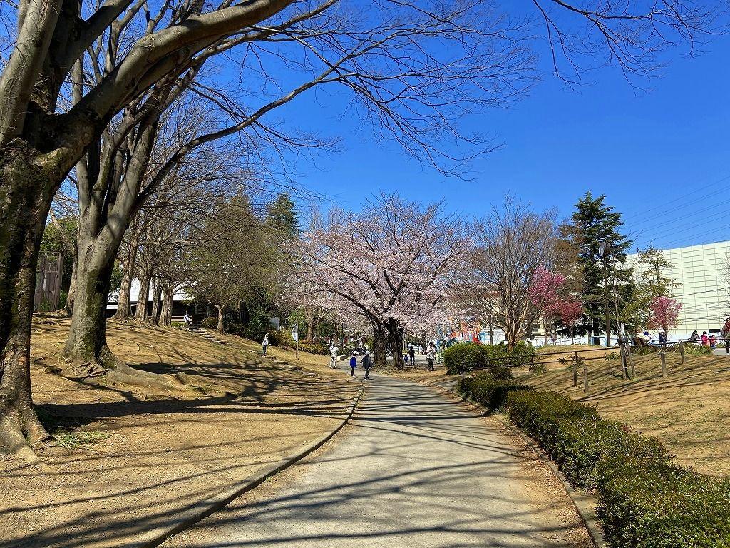2020年3月24日(火)たまプラーザの美しが丘公園の桜の様子