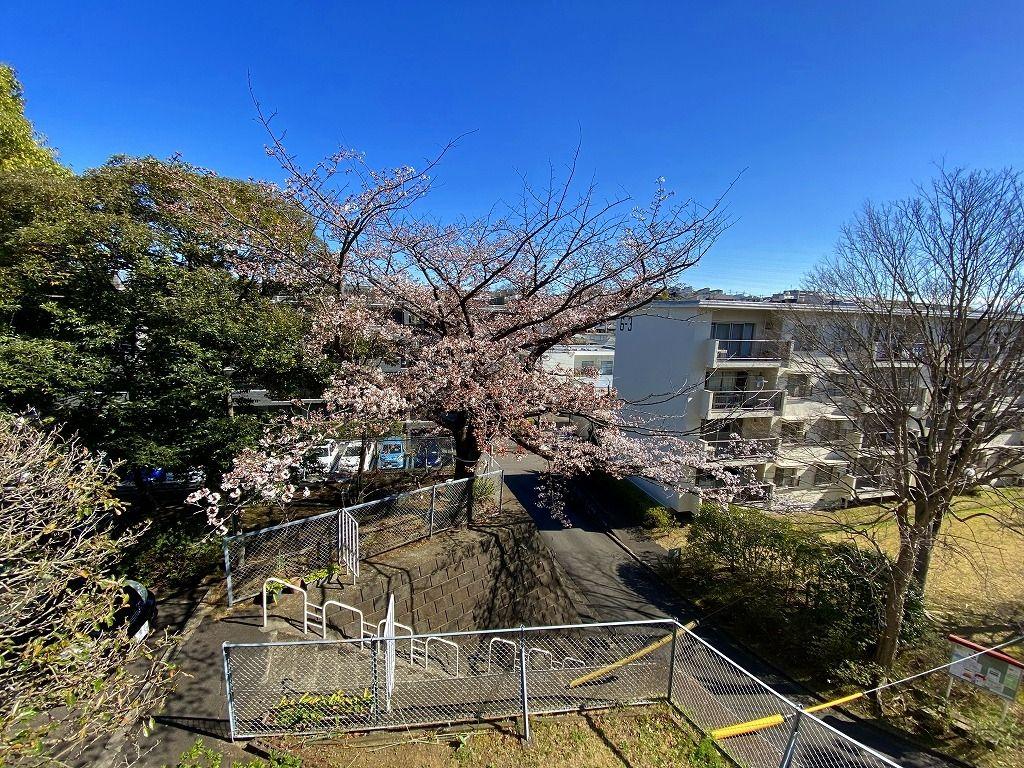 3/20(金)たまプラーザ団地の桜咲き始め