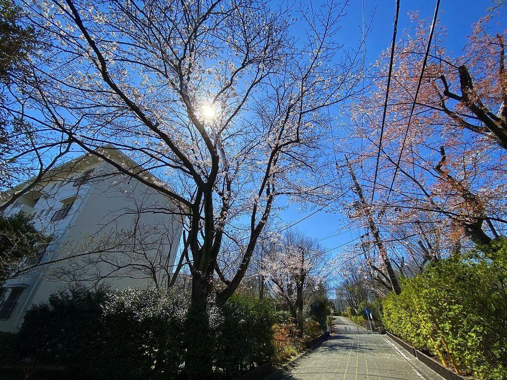 2020年たまプラーザ団地の桜