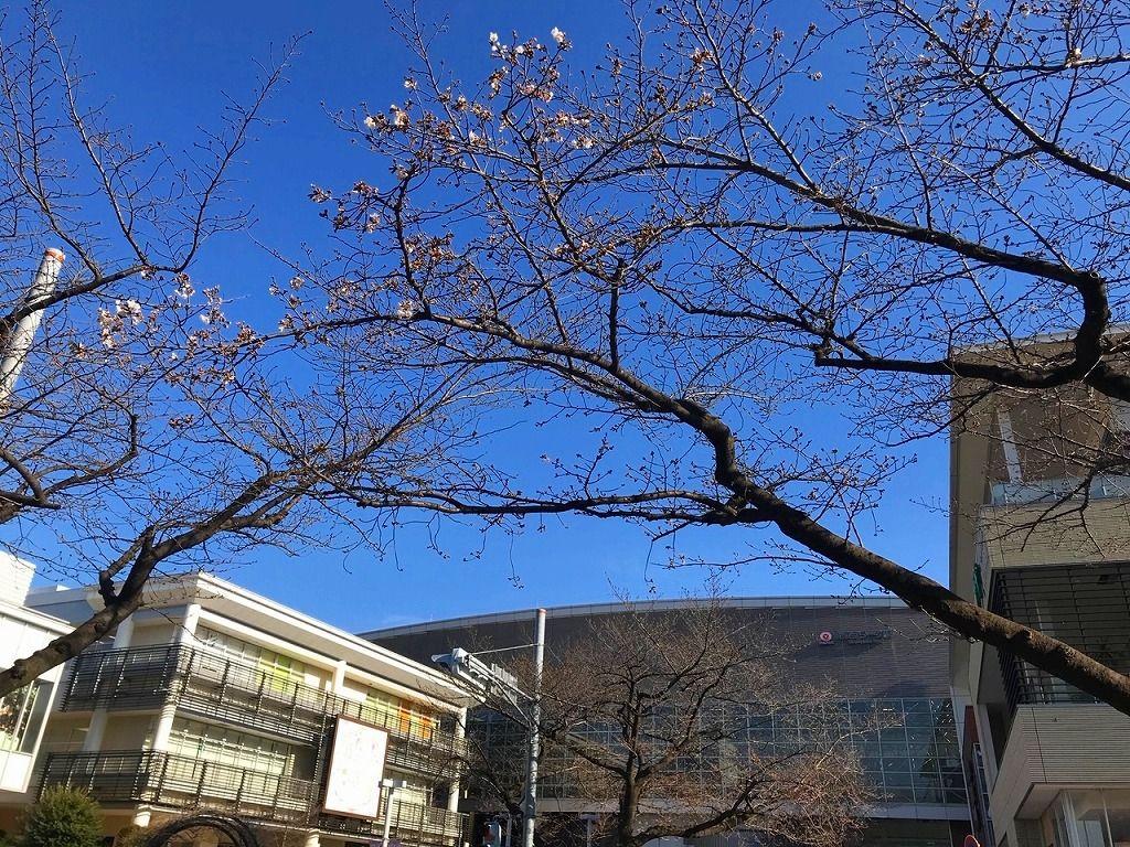 2020年3/17(火)たまプラーザの桜咲き始めの様子です。
