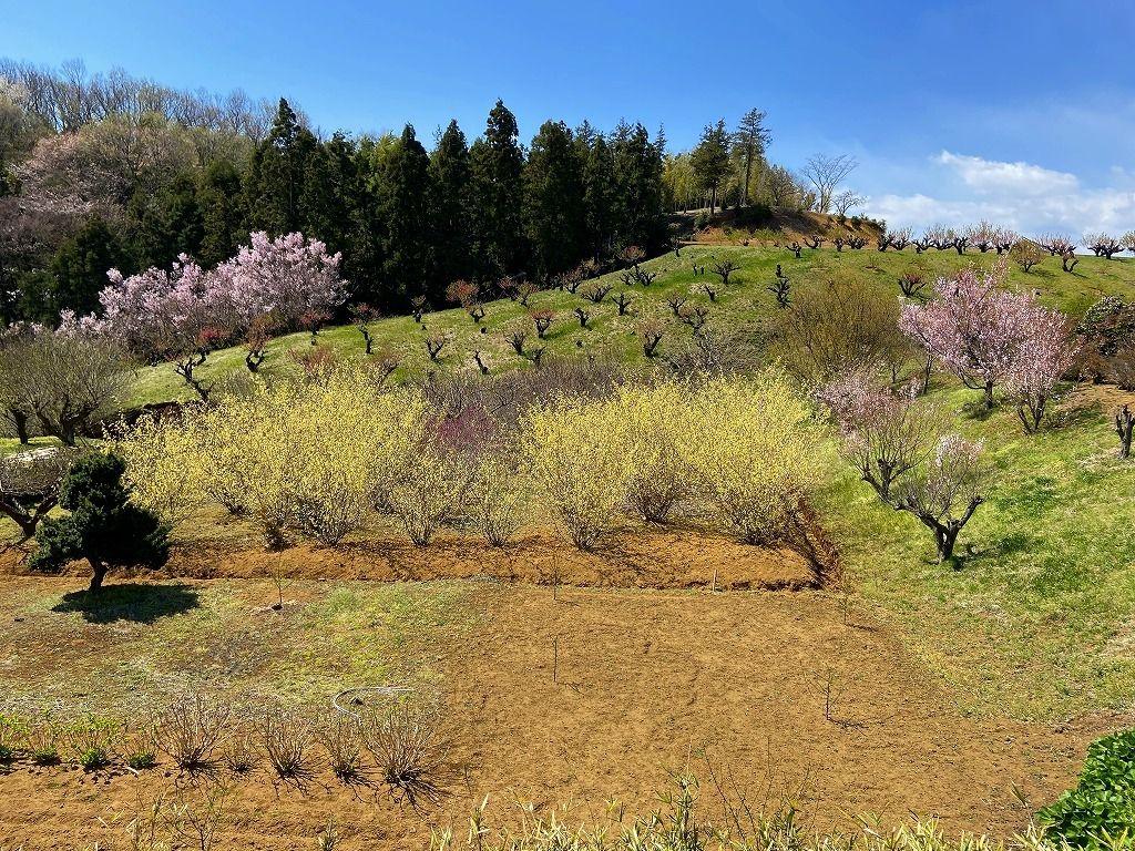2020年3/24(火)たまプラーザの元石川町の花桃の丘の様子です。