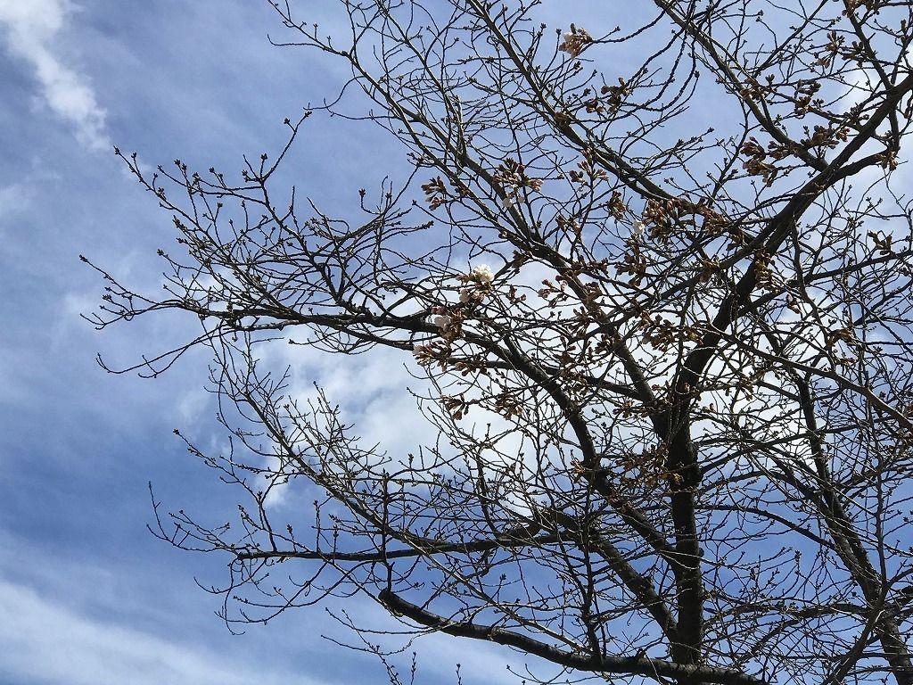 2020年3/16(月)たまプラーザの桜咲き始めの様子です。