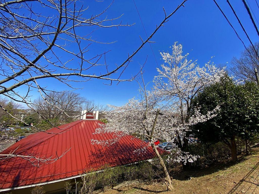 2020年3月24日(火)たまプラーザ団地の桜の様子