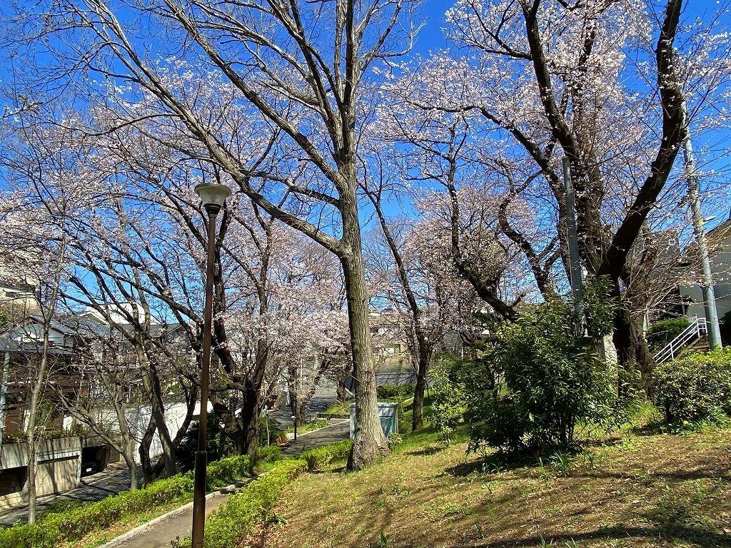 2020年3/24(火)たまプラーザの美しが丘第7公園の桜の様子です。