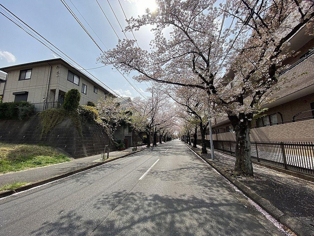 賃貸物件「パークテラスあざみ野」近くの「桜通り」の桜の様子。