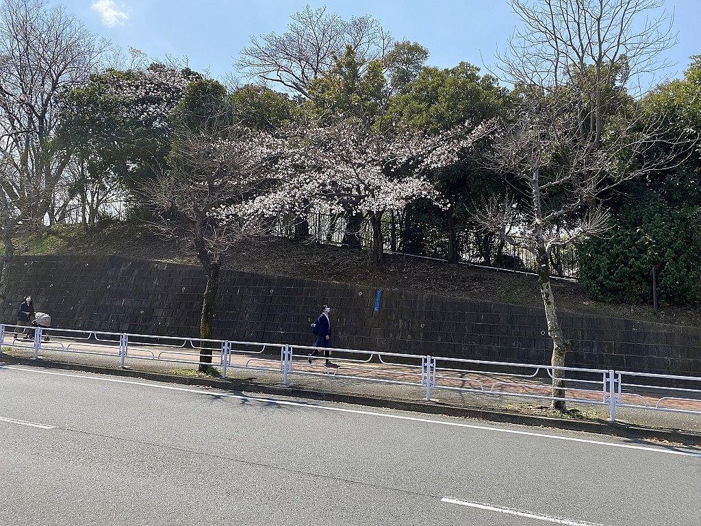 たまプラーザの山内公園の2021年3月26日(金)の桜の様子です。