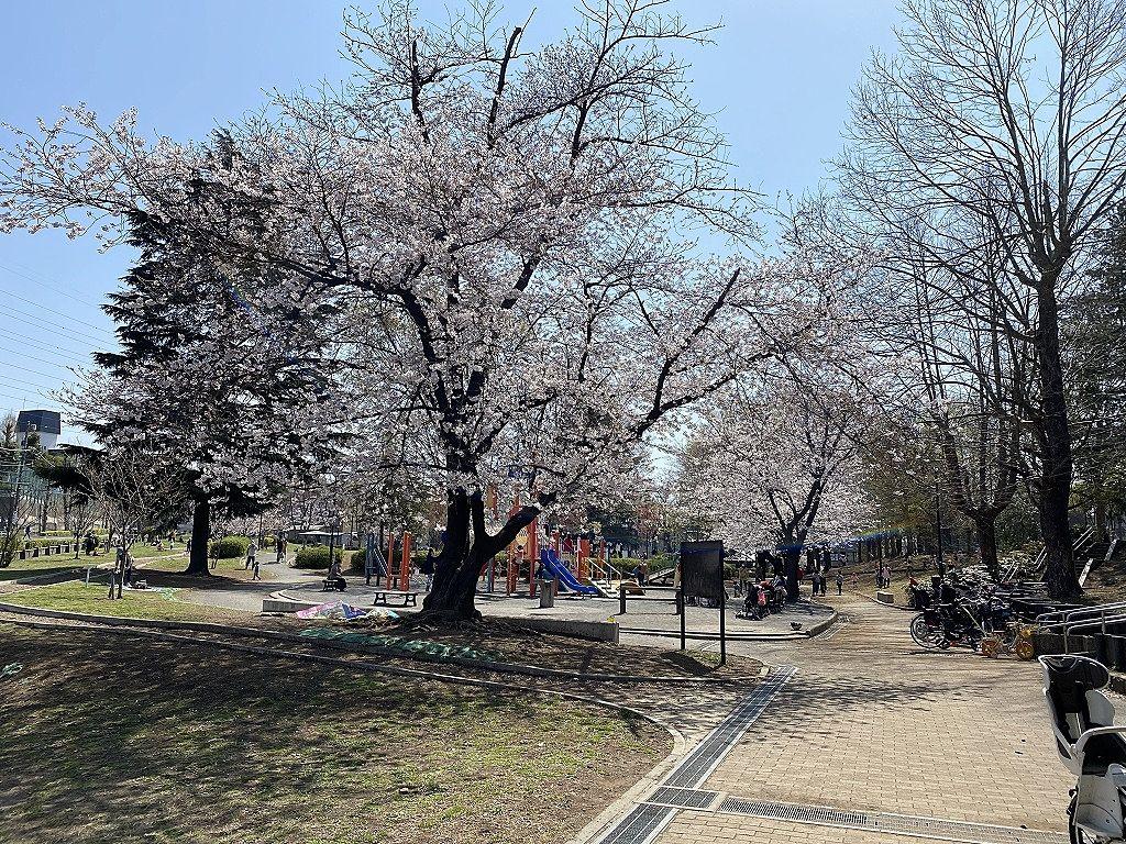 たまプラーザの美しが丘公園の2021年3月26日(金)の桜の様子です。