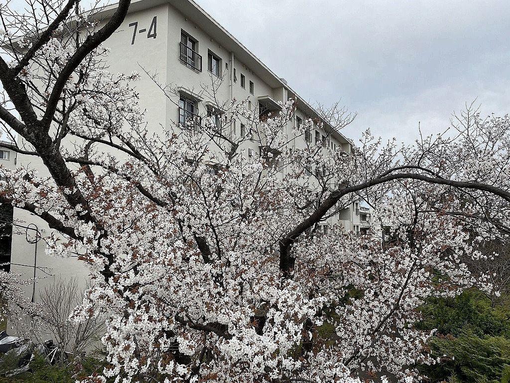 たまプラーザ団地7街区の桜