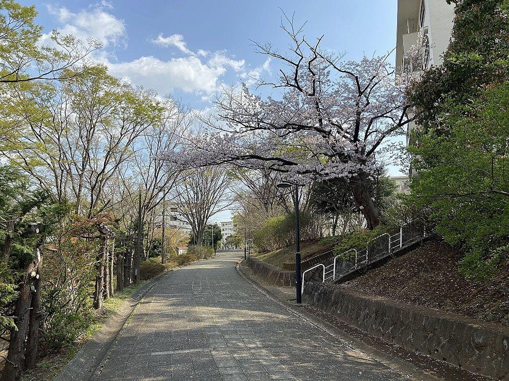 たまプラーザ団地5街区の桜