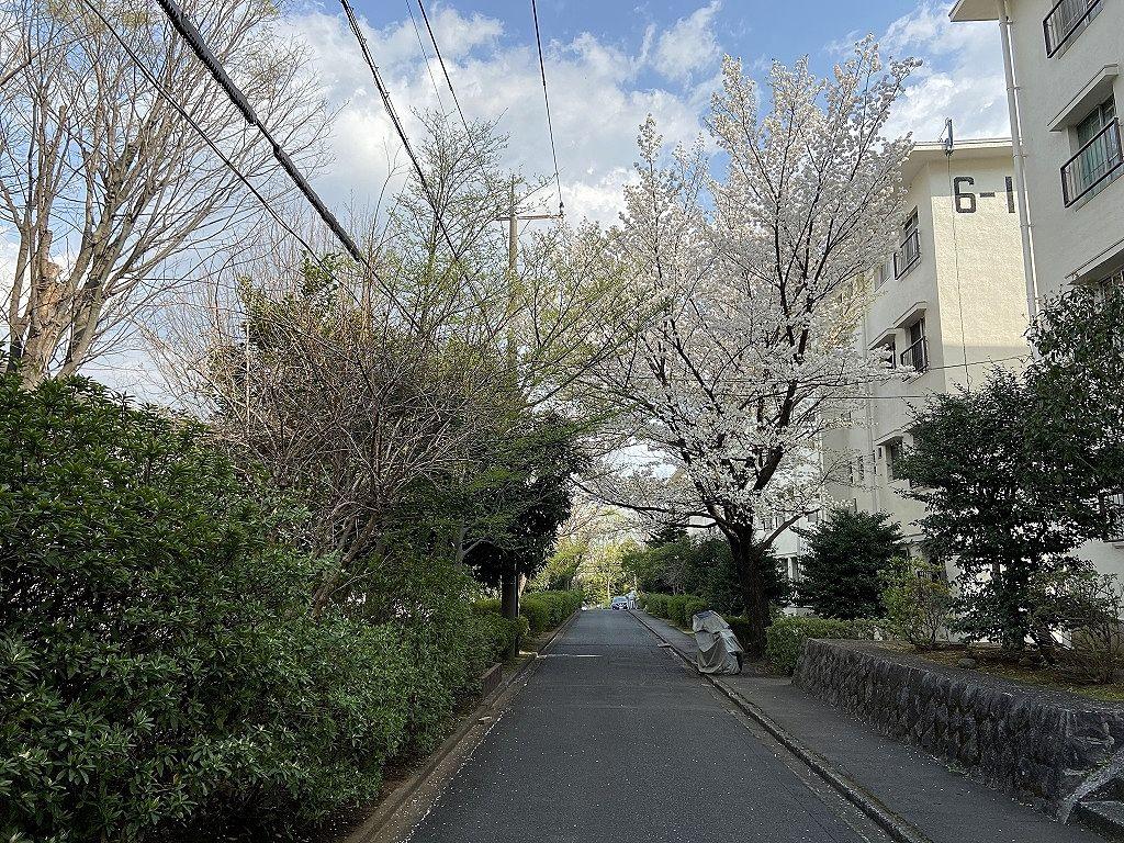 たまプラーザ団地6街区の桜