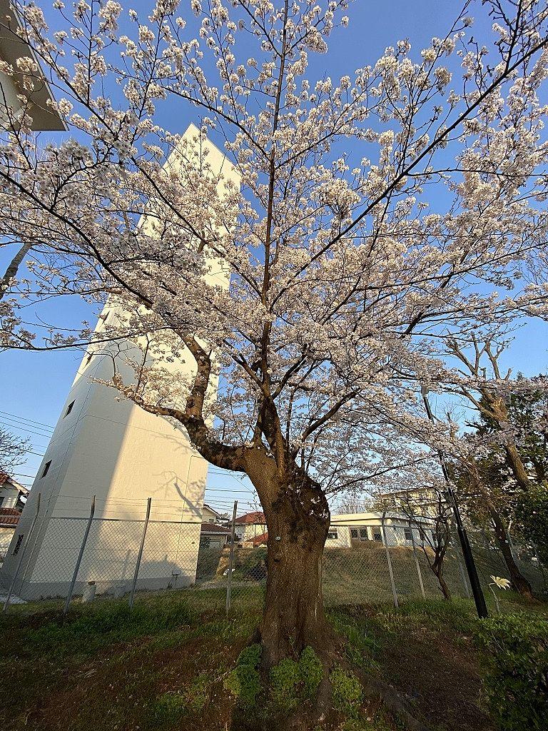 たまプラーザ団地3街区の桜